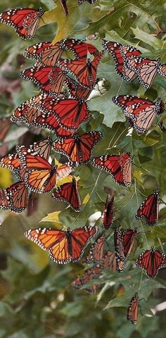Image 10:  These are real life butterflies. This is the final stage in the cycle.