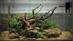 My island scape. A week after flooding; a month after planting with DSM Betta Tank, Fish Tank, Tree Stump Decor, Aquarium Driftwood, Aquarium Landscape, Reptile Room, Epiphyte, Aquarium Design, Aquarium Ideas