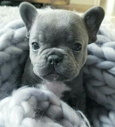 1 million+ Stunning Free Images to Use Anywhere Teacup Puppies, Kittens And Puppies, Cute Dogs And Puppies, Baby Puppies, Baby Dogs, Doggies, Blue French Bulldog Puppies, Cute French Bulldog, French Bulldogs