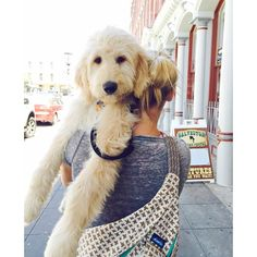So adorable! The expression on puppy's face is classic! Reminds me so much of Winston! When I get tired, I make my humans carry me. Cute Puppies, Cute Dogs, Dogs And Puppies, Doggies, Labradoodles, Goldendoodles, Puppy Goldendoodle, Animals And Pets, Baby Animals