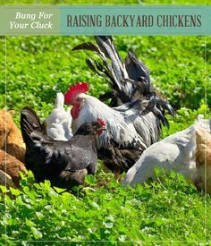 Bang For Your Cluck – Raising Backyard Chickens