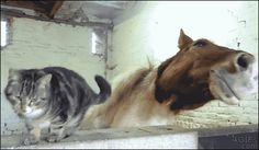 Cat & Horse hanging out (x-post from r/gifs)