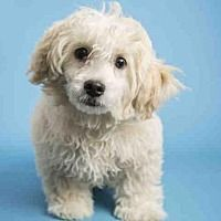 Pictures of BRUNO a Shih Tzu for adoption in Phoenix, AZ who needs a loving home.