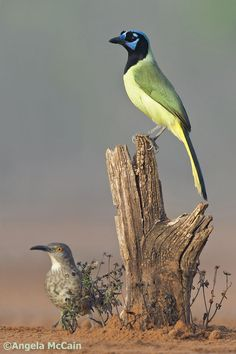 South Texas Greenjay
