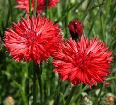 Cornflower Tall Red Bachelor Button Flower Seeds by AuntBeesSeeds for $2.50