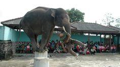 gajah (10)