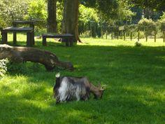 Goats at Camperdown Park