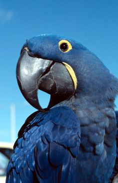 A Hyacinth Macaw smiles for the camera (1989). | Florida Memory