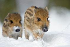 Sweet story about French bulldog adopting wild piglets  .  .  http://corporatebird.blogspot.in/