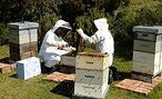 NEWS STORY - Bee-friendly insecticides - 17 Apr, 2014 - University of Otago geneticist Peter Dearden is using the bee genome to develop a bee-friendly insecticide. Bee Friendly, Bees, Lab, University, Science, Labs, Labradors, Community College, Colleges