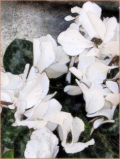 Ciclamino bianco http://ilmioblogdiprova.over-blog.it/article-ciclamino-bianco-101604554.html