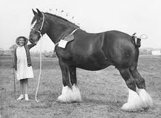 Image result for is there a photo of samson largest horse mammoth