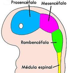4 week embryo brain ES.jpg - Esquema del encéfalo de un embrión de 4 semanas