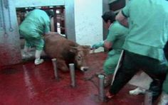 Down on her knees, fighting till her last tormented breath. You are the reason they suffer. If you eat meat this is what you are causing.