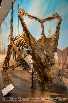 chasmosaurus #science #Dinosaur