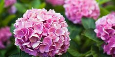 These hydrangeas are pretty in pink.