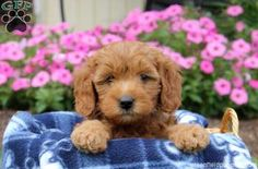 Wanda, Mini Goldendoodle puppy for sale from Coatesville, PA