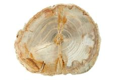 "The perfect decorative accessory for neutral decor - 9"" Petrified-Wood Slice, Natural"