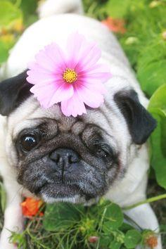 Flower power pug