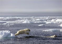 """A pair of polar bear cubs swim for the first time, #FrozenPlanet, BBC/Discovery 