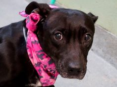 TO BE DESTROYED - 02/11/15 Manhattan Center   My name is APPLE. My Animal ID # is A1027271. I am a female black and white pit bull mix. The shelter thinks I am about 4 YEARS old.  I came in the shelter as a STRAY on 02/06/2015 from NY 10453, owner surrender reason stated was STRAY.