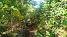 Tropical Permaculture in Peru. I need to make some biochar. Lay my palm fronds on the ground instead of burning them. (perhaps machete away the center stalk first). Throughout the system we have healthy vetiver grass (Chrysopogon zizanioides), pigeon peas, leucaena and ice cream beans, which also fix nitrogen into the soil, so we can continue to produce soil. Dry season: ice cream bean.