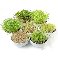 Growing Microgreens, Chinese Cabbage, Lentils, Food Photo, Compost, Sprouts, Dog Food Recipes, Stock Photos, Bowls
