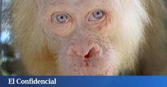 Animales: La nueva Copito de Nieve y otros animales albinos. Fotogalerías de Ciencia. El albinismo es un trastorno genético que causa la pérdida, total o parcial, del pigmento que colorea nuestra piel, ojos y pelo, la melanina. Se trata