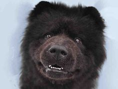 Meet PETE, a Petfinder adoptable Chow Chow Dog | Denver, CO | GREAT DOG!Favorite Things: Showing off his smile, eating treats, receiving ear and head rubsSpecial...