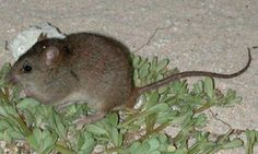 Exclusive: scientists find no trace of the Bramble Cay melomys, a small rodent that was the only mammal endemic to Great Barrier Reef