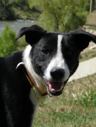 Lucy is an adoptable Border Collie Dog in Durango, CO. Her adoption fee is $79.00 She is microchipped by 24PetWatch...