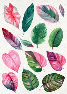 Pink and green tropical leaves. Beautiful leaves of tropical plants calathea, Caladium, ficus and others, painted by hand, watercolors and scanned in good Watercolor Plants, Watercolor Leaves, Watercolor Paintings, Watercolors, Plant Painting, Plant Art, Botanical Art, Botanical Illustration, Watercolor Illustration