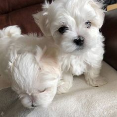 Cathys Maltese Teacup Apricot Maltipoo Maltese Puppy For
