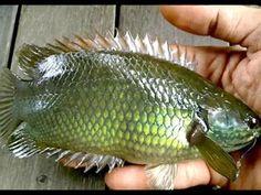 Umpan Paling Ampuh untuk mancing Ikan Kapunggul (Betok) - YouTube Bait, Fish, Pisces