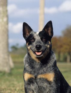 Blue Heeler Australian Cattle Dog Puppy Dogs Shepherd
