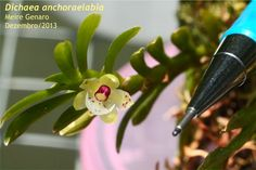 Dichaea anchoraelabia