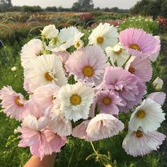 """Erin Benzakein - Floret (@floretflower) on Instagram: """"I can hardly handle how spectacular these 'Cupcake Blush' Cosmos are. My daughter says they remind…"""""""