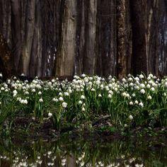 Tőzikék / Snow-flake #spring #Leucojumvernum