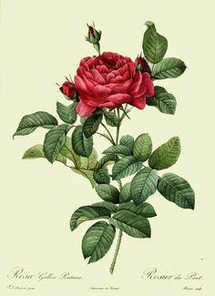 #oliessenziali #rosa #rosadamascena #pelle #rughe #afrodisiaco #couperose #sistemavascolare   Rosa, olio essenziale
