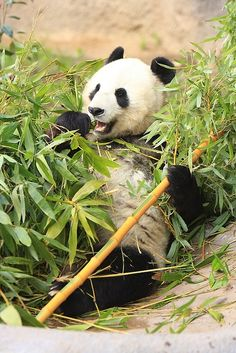 Panda Bear, San Diego Zoo - Panda Bears - Though it belongs to the order Carnivora, the panda's diet is 99% bamboo. Pandas in the wild will occasionally eat other grasses, wild tubers, or even meat in the form of birds, rodents or carrion. In captivity, they may receive honey, eggs, fish, yams, shrub leaves, oranges, or bananas along with specially prepared food.