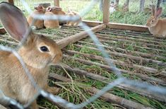 Pastured meat rabbits at Polyface Farm in Virg. Good for rabbit cage size and growing out Raising Rabbits For Meat, Meat Rabbits, Permaculture, Bushcraft, Rabbit Farm, Rabbit Cages, Young Rabbit, Homestead Farm, Rabbit Hutches