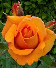 Orange Roses Orange Roses The post Orange Roses appeared first on Easy flowers.