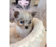 1000 images about chihuahuas on pinterest blue merle