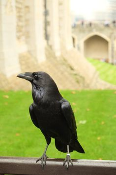 The Tower Ravens....