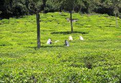 Tea Picking Women's work. Nilgiri Hills, India.