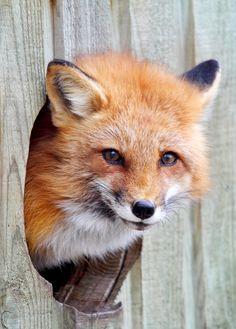 A fox in a fox hole!