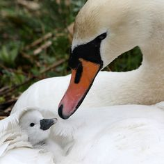Cute Baby Animals, Animals And Pets, Funny Animals, Swans, Love Pictures, Animal Pictures, Beautiful Birds, Animals Beautiful, Beautiful Swan