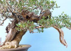 EXCEPTIONAL Yamadori Olive Bonsai Tree @KaizenBonsai #bonsaitrees