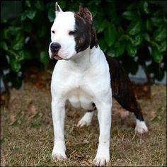 Staffy Bull Terrier, Amstaff Terrier, Staffy Dog, Terrier Dogs, Best Dog Breeds, Best Dogs, Pitbull Dog Puppy, Pitbulls, American Pitbull