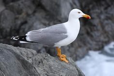 The Yellow-legged Gull (Larus michahellis), sometimes referred to as Western Yellow-legged Gull (to distinguish it from eastern populations of yellow-legged large white-headed gulls), is a large gull of Europe, the Middle East and North Africa, which has only recently achieved wide recognition as a distinct species. It was formerly treated as a subspecies of either the Caspian Gull L. cachinnans, or more broadly as a subspecies of the Herring Gull L. argentatus.
